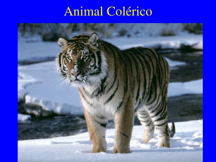 Animal Colérico