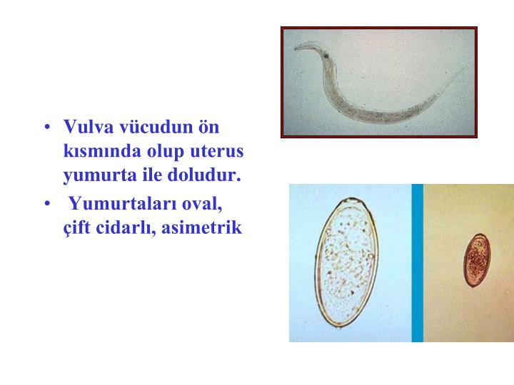 Vulva vücudun ön kısmında olup uterus yumurta ile doludur.