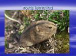 norra lemming