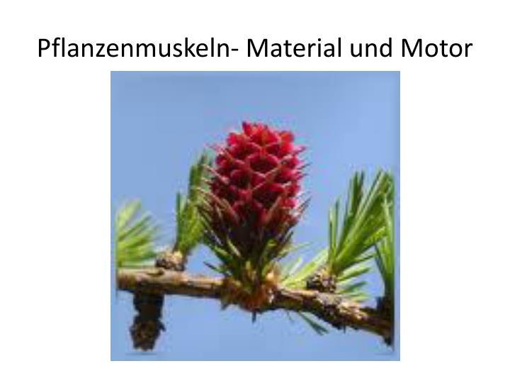 Pflanzenmuskeln- Material und Motor