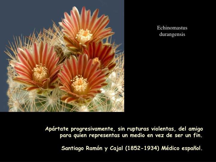 Echinomastus durangensis