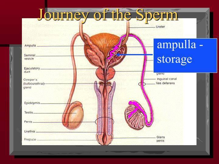 Journey of the Sperm