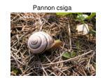 pannon csiga1