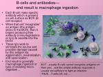 b cells and antibodies end result is macrophage ingestion1