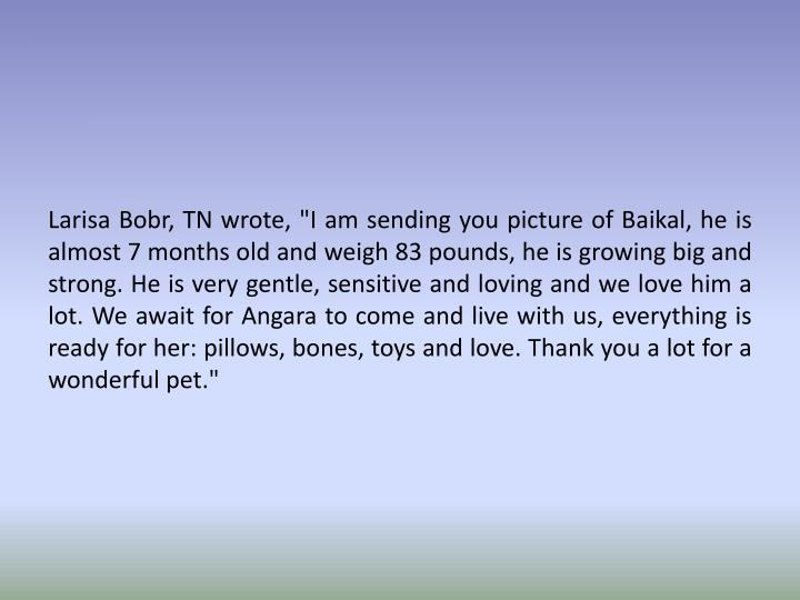 """Larisa Bobr, TN wrote, """"I am sending you picture of Baikal, he is almost 7 months old and weigh 83 pounds, he is growing big and strong. He is very gentle, sensitive and loving and we love him a lot. We await for Angara to come and live with us, everything is ready for her: pillows, bones, toys and love. Thank you a lot for a wonderful pet."""""""