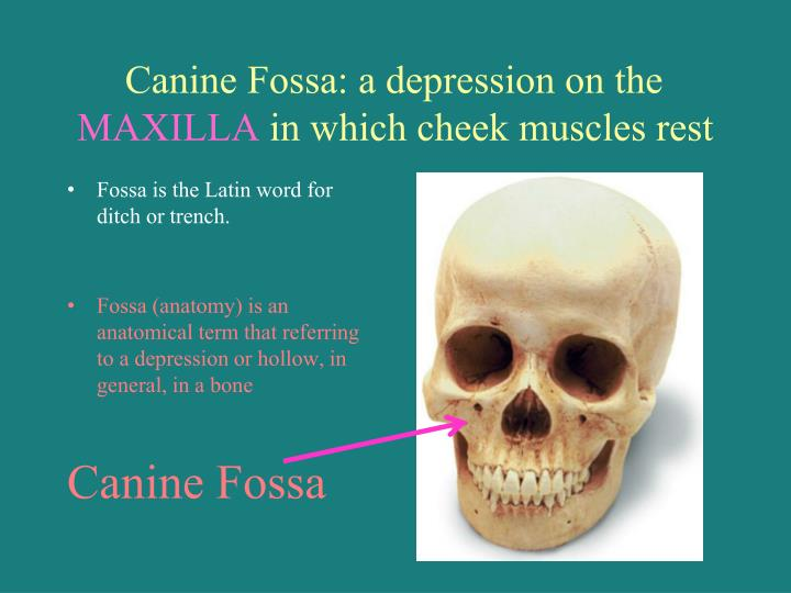 Canine Fossa: a depression on the