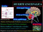 muerte encefalica1