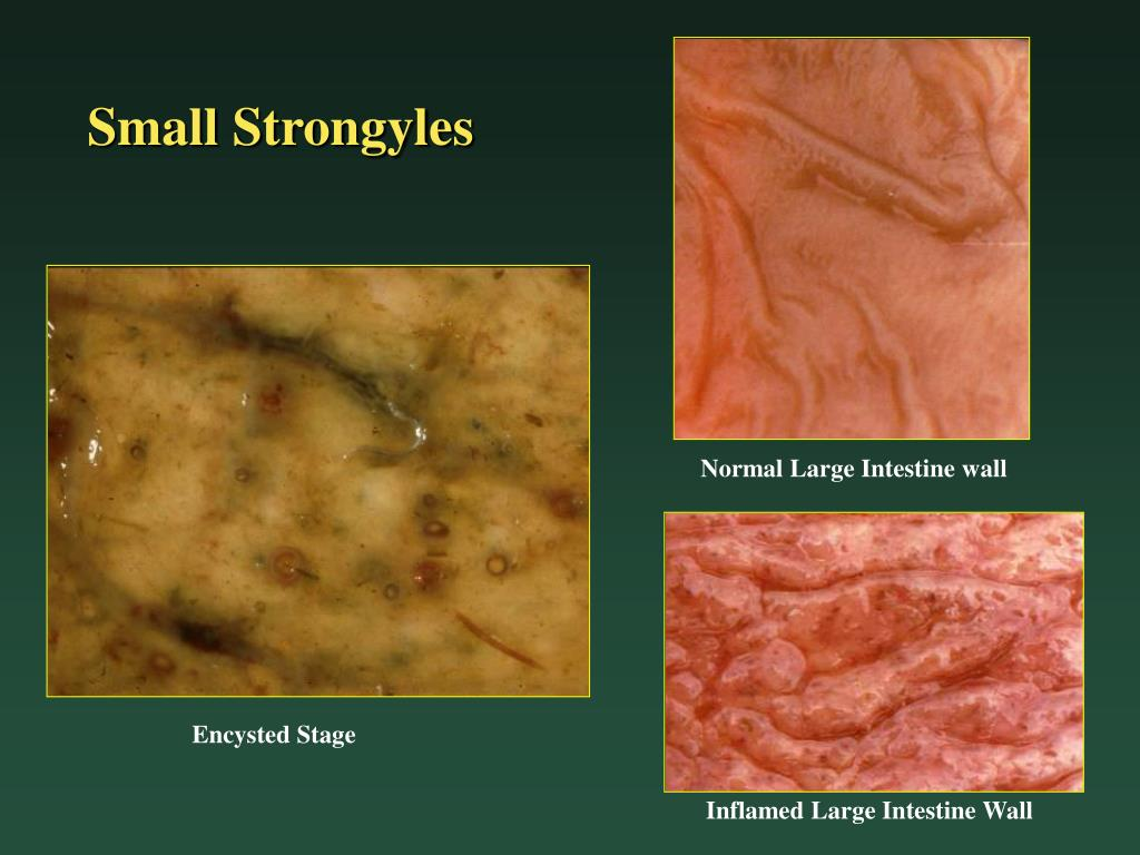 Small Strongyles