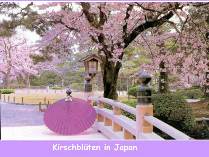 Kirschblüten in Japan