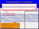 tropocollagene e collagene