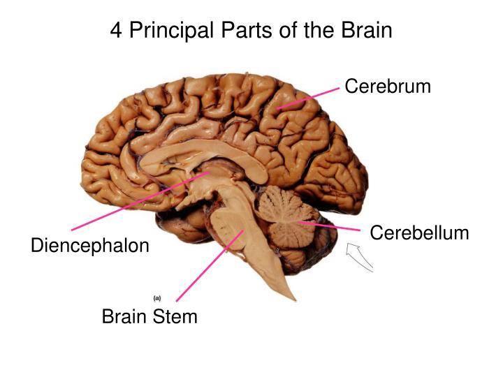 4 Principal Parts of the Brain