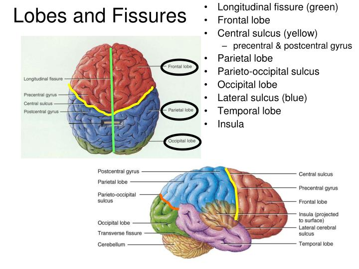 Longitudinal fissure (green)