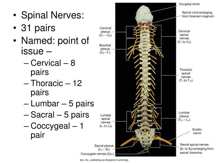Spinal Nerves: