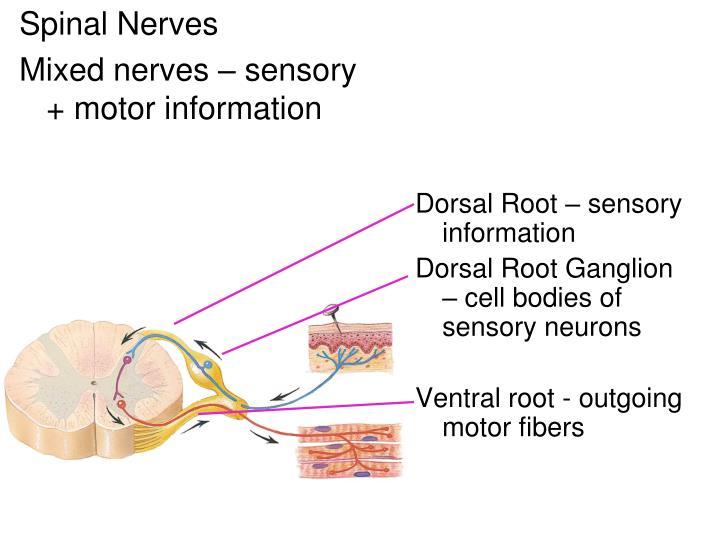 Dorsal Root – sensory information