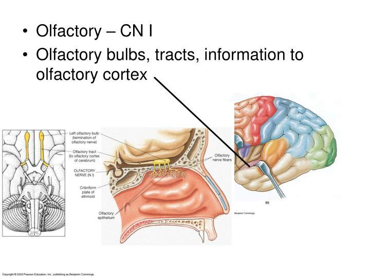 Olfactory – CN I