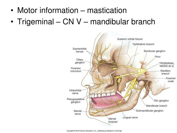 Motor information – mastication