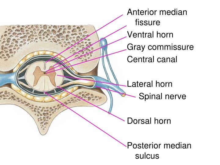 Anterior median fissure