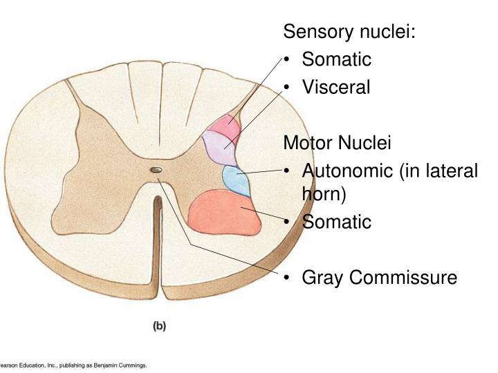 Sensory nuclei: