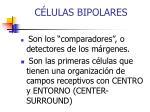 c lulas bipolares