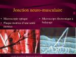 jonction neuro musculaire