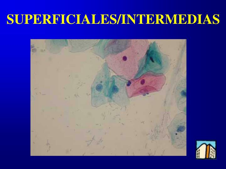 SUPERFICIALES/INTERMEDIAS