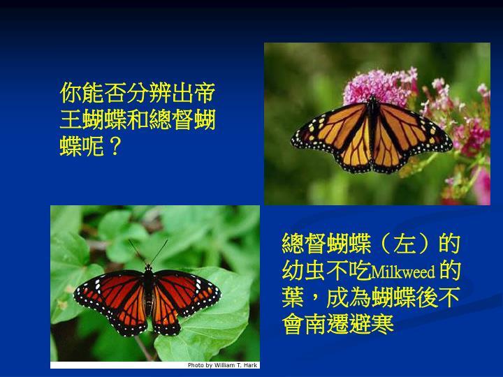 你能否分辨出帝王蝴蝶和總督蝴蝶呢?