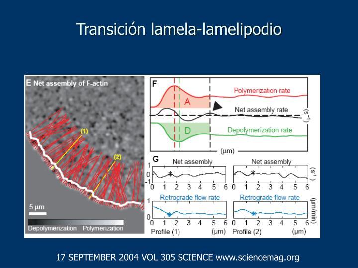 Transición lamela-lamelipodio