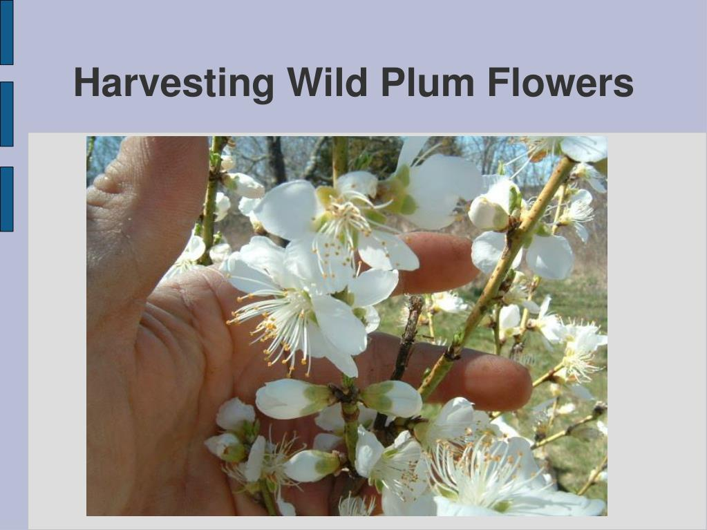 Harvesting Wild Plum Flowers