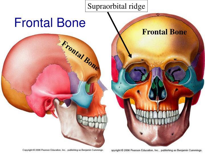 Supraorbital ridge