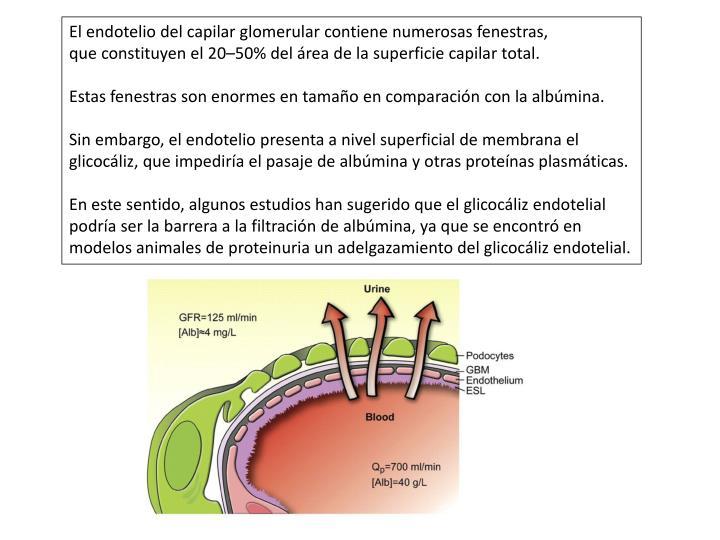 El endotelio del capilar glomerular