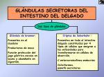 gl ndulas secretoras del intestino del delgado