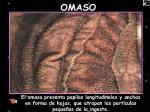 omaso