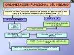 organizaci n funcional del higado