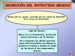 secreci n del intestino grueso