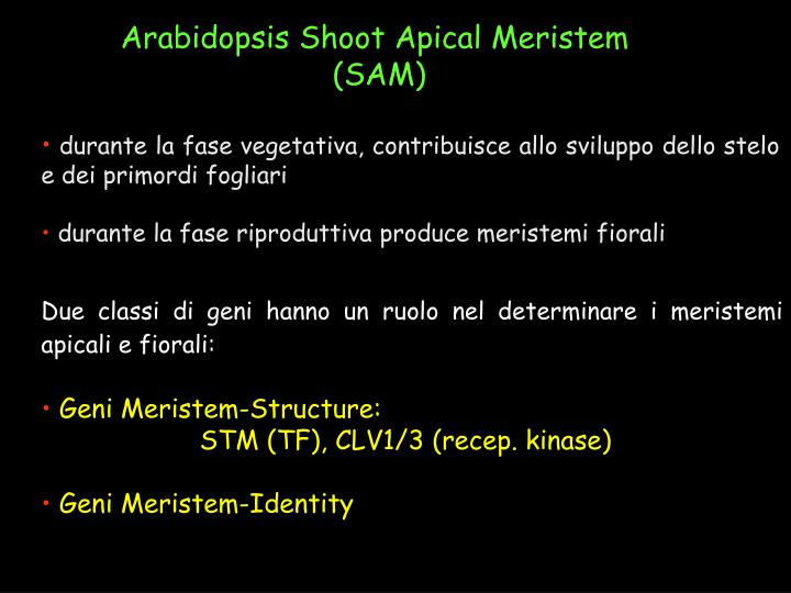 Arabidopsis Shoot Apical Meristem