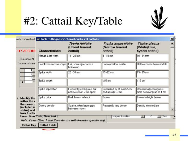 For help distinguishing among native, invasive, and hybrid cattail, click on the Key (for a written description) or Table (summary version).