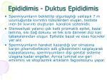 epididimis duktus epididimis