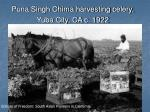 puna singh chima harvesting celery yuba city ca c 1922