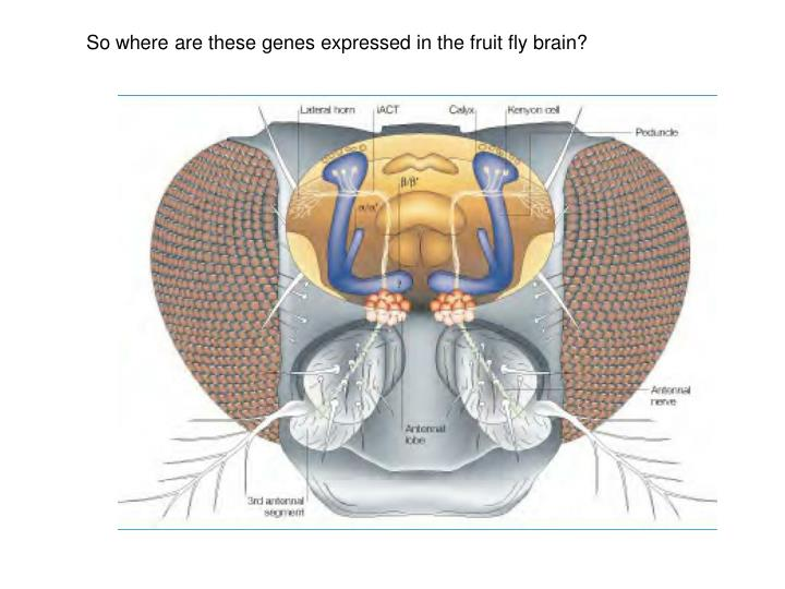 So where are these genes expressed in the fruit fly brain?