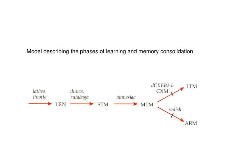 Model describing the phases of learning and memory consolidation