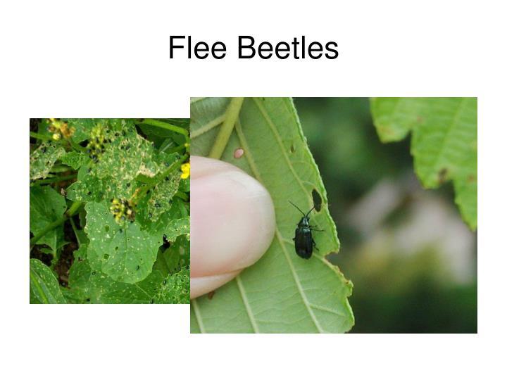 Flee Beetles