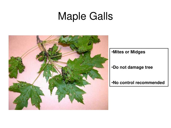 Maple Galls