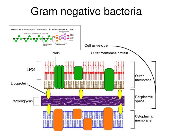 isolation of gram negative bacteria essay Open journal of medical microbiology vol06 no02(2016), article id:67574,7 pages 104236/ojmm201662009 isolation of pathogenic gram-negative bacteria from urinary tract infected patients.