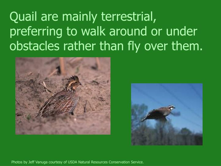 Quail are mainly terrestrial, preferring to walk around or under obstacles rather than fly over them.