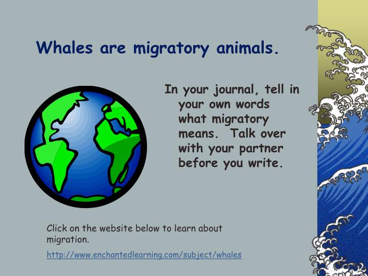 Whales are migratory animals.