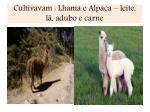 cultivavam lhama e alpaca leite l adubo e carne