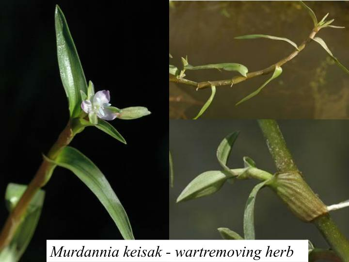 Murdannia keisak - wartremoving herb