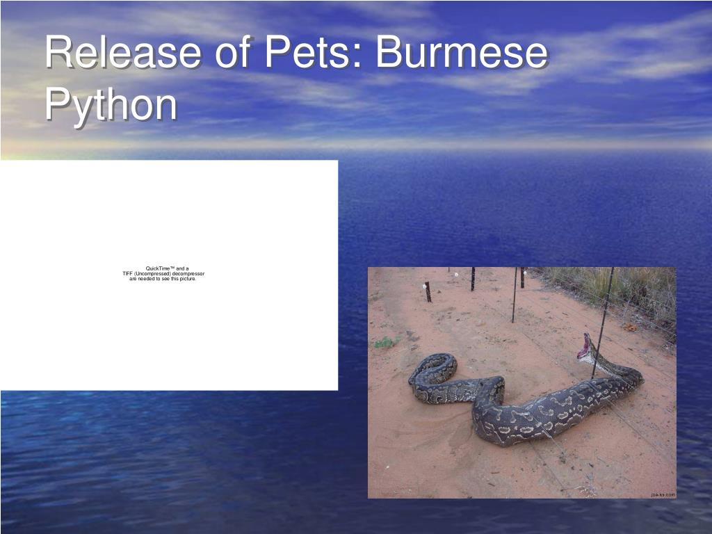 Release of Pets: Burmese Python