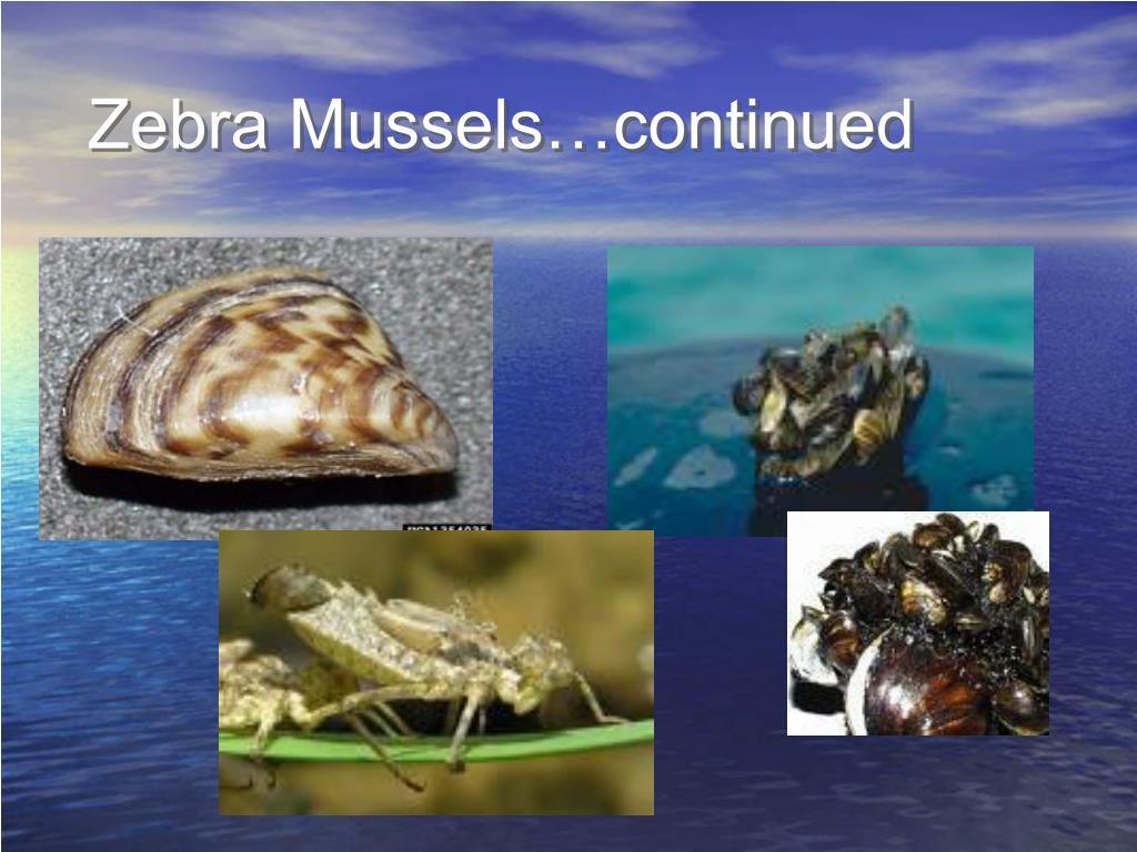 Zebra Mussels…continued