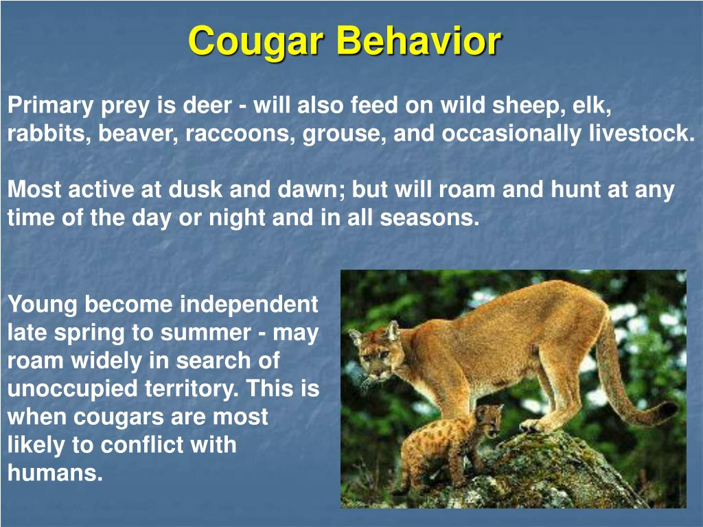 Primary prey is deer - will also feed on wild sheep, elk, rabbits, beaver, raccoons, grouse, and occasionally livestock.
